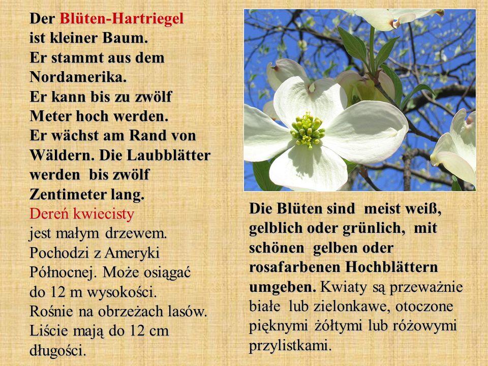 Der Blüten-Hartriegel ist kleiner Baum. Er stammt aus dem Nordamerika