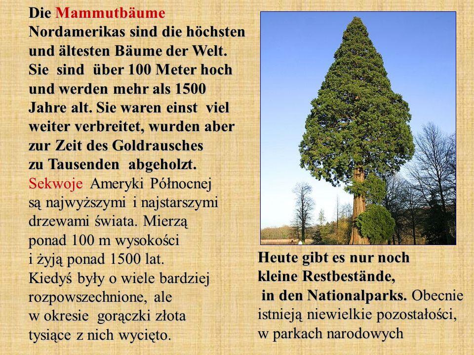 Die Mammutbäume Nordamerikas sind die höchsten und ältesten Bäume der Welt. Sie sind über 100 Meter hoch und werden mehr als 1500 Jahre alt. Sie waren einst viel weiter verbreitet, wurden aber zur Zeit des Goldrausches zu Tausenden abgeholzt. Sekwoje Ameryki Północnej są najwyższymi i najstarszymi drzewami świata. Mierzą ponad 100 m wysokości i żyją ponad 1500 lat. Kiedyś były o wiele bardziej rozpowszechnione, ale w okresie gorączki złota tysiące z nich wycięto.
