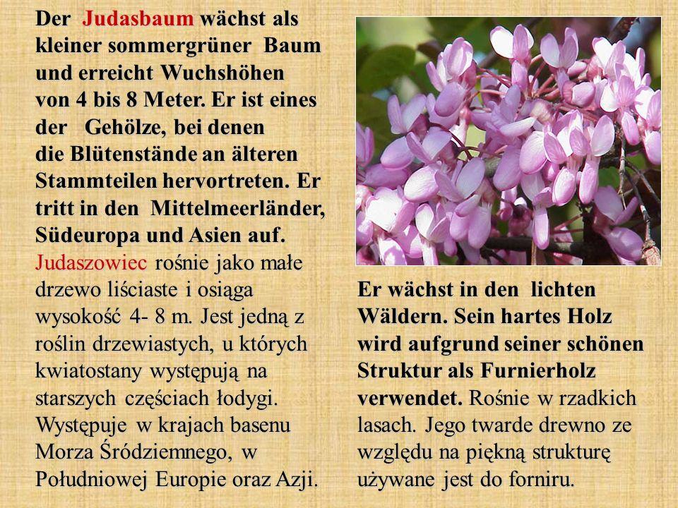 Der Judasbaum wächst als kleiner sommergrüner Baum und erreicht Wuchshöhen von 4 bis 8 Meter. Er ist eines der Gehölze, bei denen die Blütenstände an älteren Stammteilen hervortreten. Er tritt in den Mittelmeerländer, Südeuropa und Asien auf. Judaszowiec rośnie jako małe drzewo liściaste i osiąga wysokość 4- 8 m. Jest jedną z roślin drzewiastych, u których kwiatostany występują na starszych częściach łodygi. Występuje w krajach basenu Morza Śródziemnego, w Południowej Europie oraz Azji.