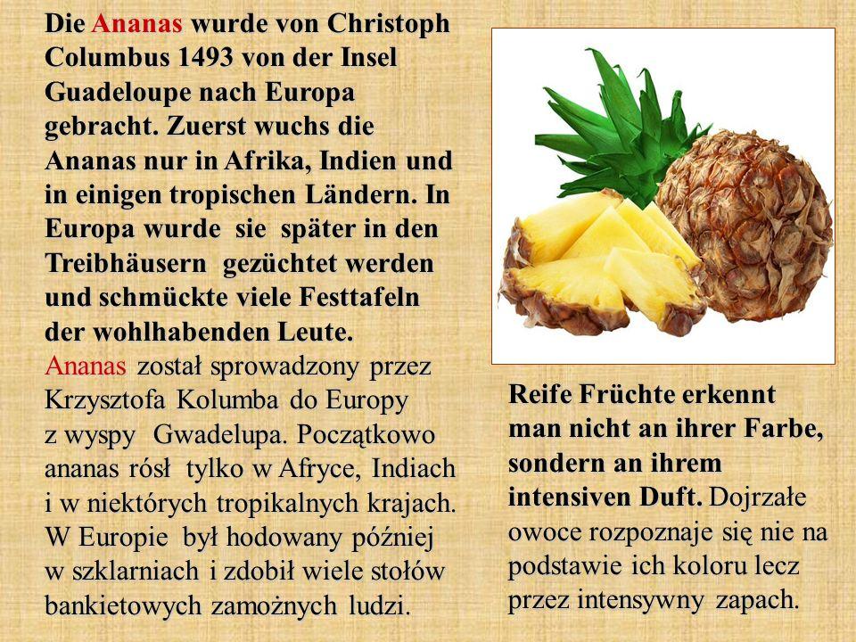 Die Ananas wurde von Christoph Columbus 1493 von der Insel Guadeloupe nach Europa gebracht. Zuerst wuchs die Ananas nur in Afrika, Indien und in einigen tropischen Ländern. In Europa wurde sie später in den Treibhäusern gezüchtet werden und schmückte viele Festtafeln der wohlhabenden Leute. Ananas został sprowadzony przez Krzysztofa Kolumba do Europy z wyspy Gwadelupa. Początkowo ananas rósł tylko w Afryce, Indiach i w niektórych tropikalnych krajach. W Europie był hodowany później w szklarniach i zdobił wiele stołów bankietowych zamożnych ludzi.