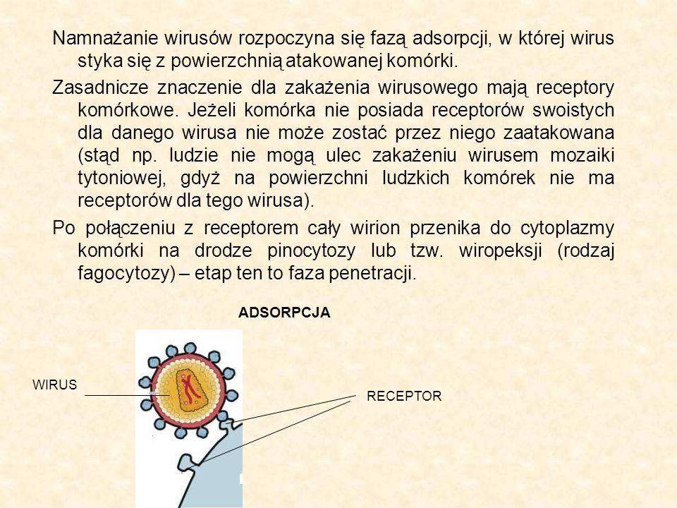 Namnażanie wirusów rozpoczyna się fazą adsorpcji, w której wirus styka się z powierzchnią atakowanej komórki.