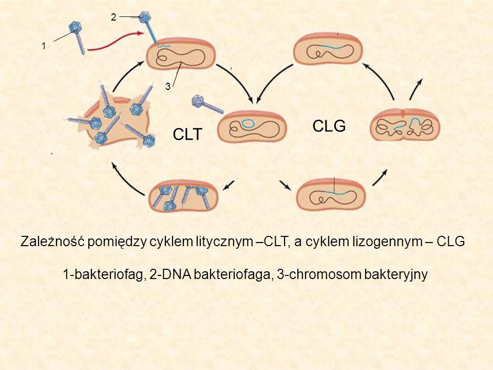 2 1. 3. CLG. CLT. Zależność pomiędzy cyklem litycznym –CLT, a cyklem lizogennym – CLG.