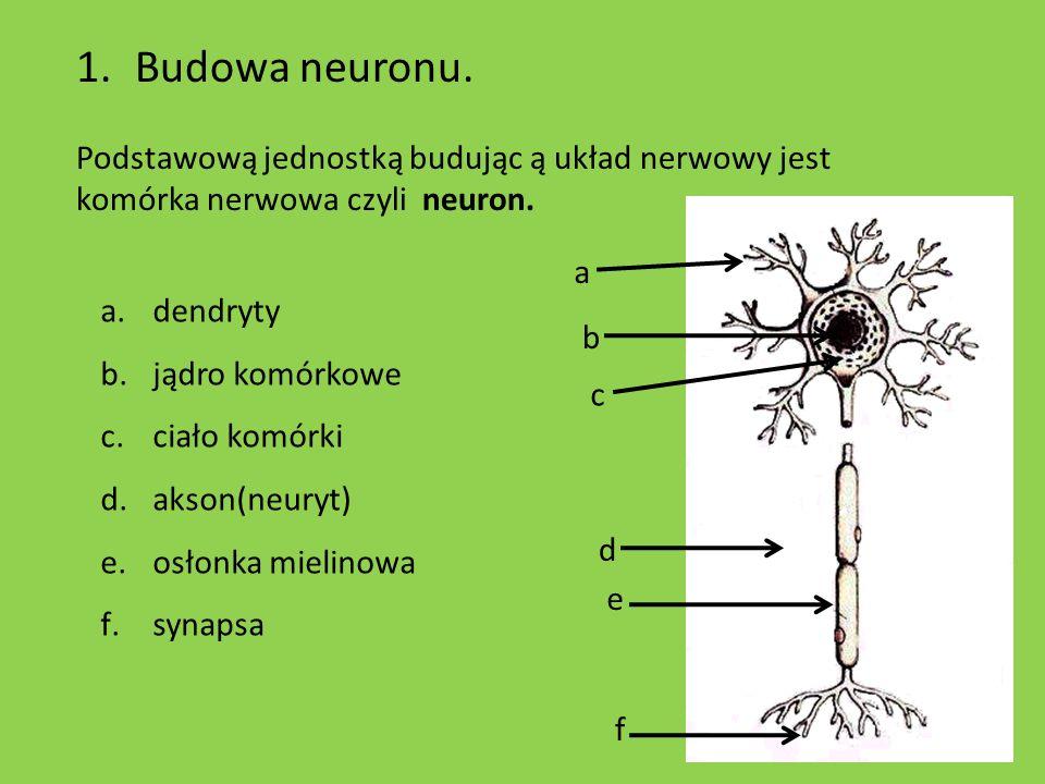 Budowa neuronu.Podstawową jednostką budując ą układ nerwowy jest komórka nerwowa czyli neuron. a. dendryty.