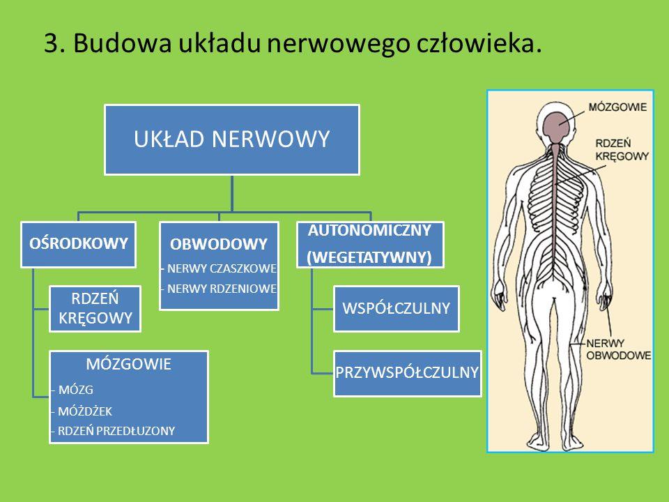 3. Budowa układu nerwowego człowieka.