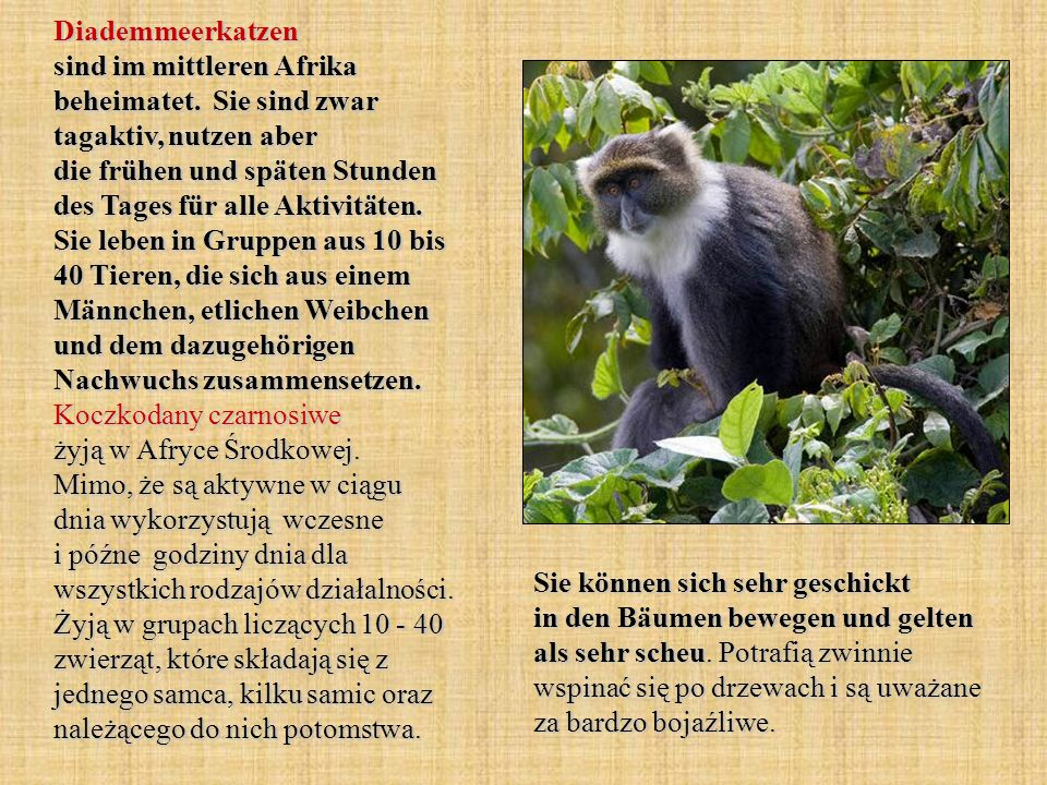 Diademmeerkatzen sind im mittleren Afrika beheimatet