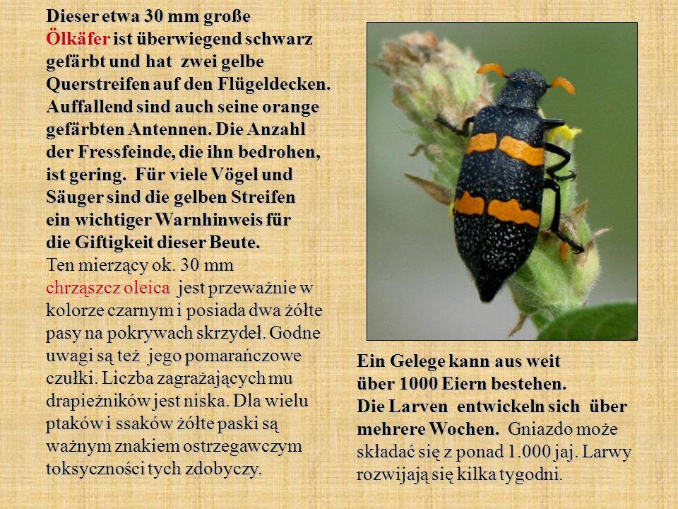 Dieser etwa 30 mm große Ölkäfer ist überwiegend schwarz gefärbt und hat zwei gelbe Querstreifen auf den Flügeldecken. Auffallend sind auch seine orange gefärbten Antennen. Die Anzahl der Fressfeinde, die ihn bedrohen, ist gering. Für viele Vögel und Säuger sind die gelben Streifen ein wichtiger Warnhinweis für die Giftigkeit dieser Beute. Ten mierzący ok. 30 mm chrząszcz oleica jest przeważnie w kolorze czarnym i posiada dwa żółte pasy na pokrywach skrzydeł. Godne uwagi są też jego pomarańczowe czułki. Liczba zagrażających mu drapieżników jest niska. Dla wielu ptaków i ssaków żółte paski są ważnym znakiem ostrzegawczym toksyczności tych zdobyczy.