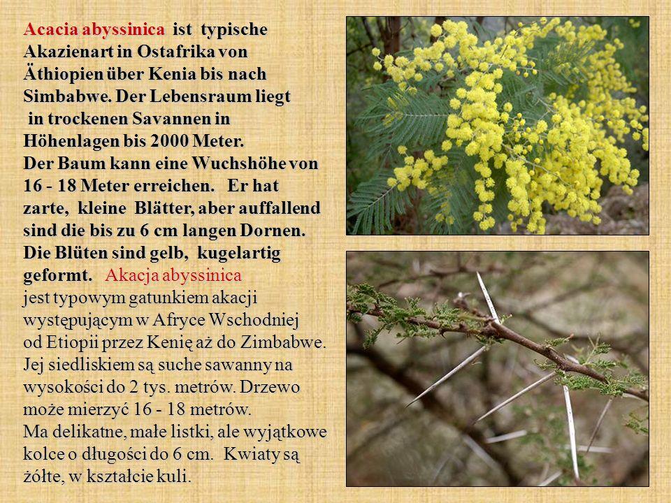 Acacia abyssinica ist typische Akazienart in Ostafrika von Äthiopien über Kenia bis nach Simbabwe.
