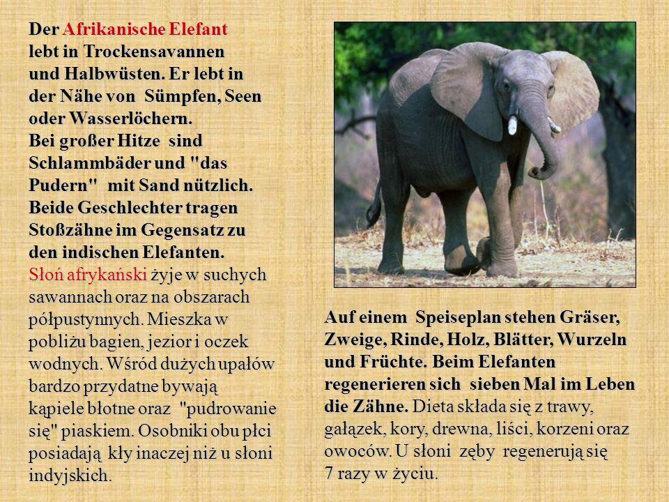 Der Afrikanische Elefant lebt in Trockensavannen und Halbwüsten