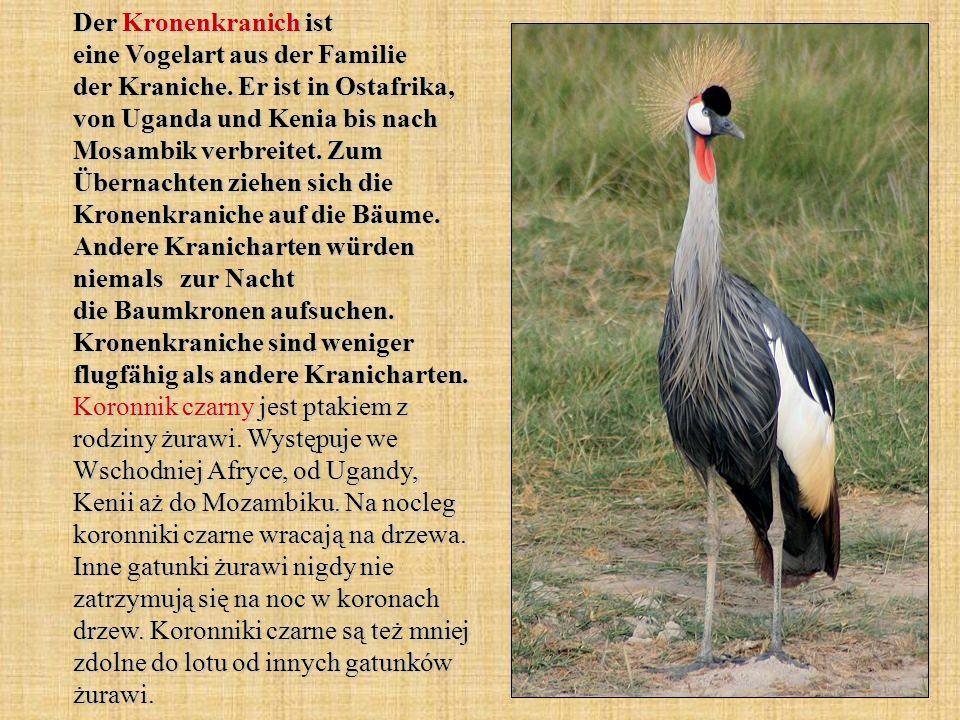 Der Kronenkranich ist eine Vogelart aus der Familie der Kraniche
