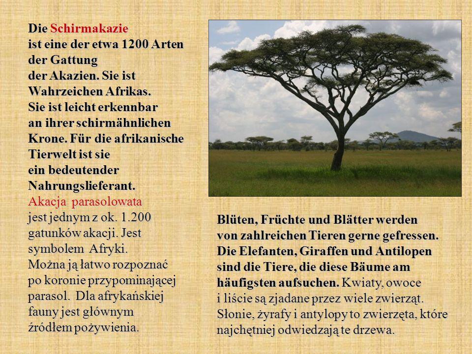 Die Schirmakazie ist eine der etwa 1200 Arten der Gattung der Akazien