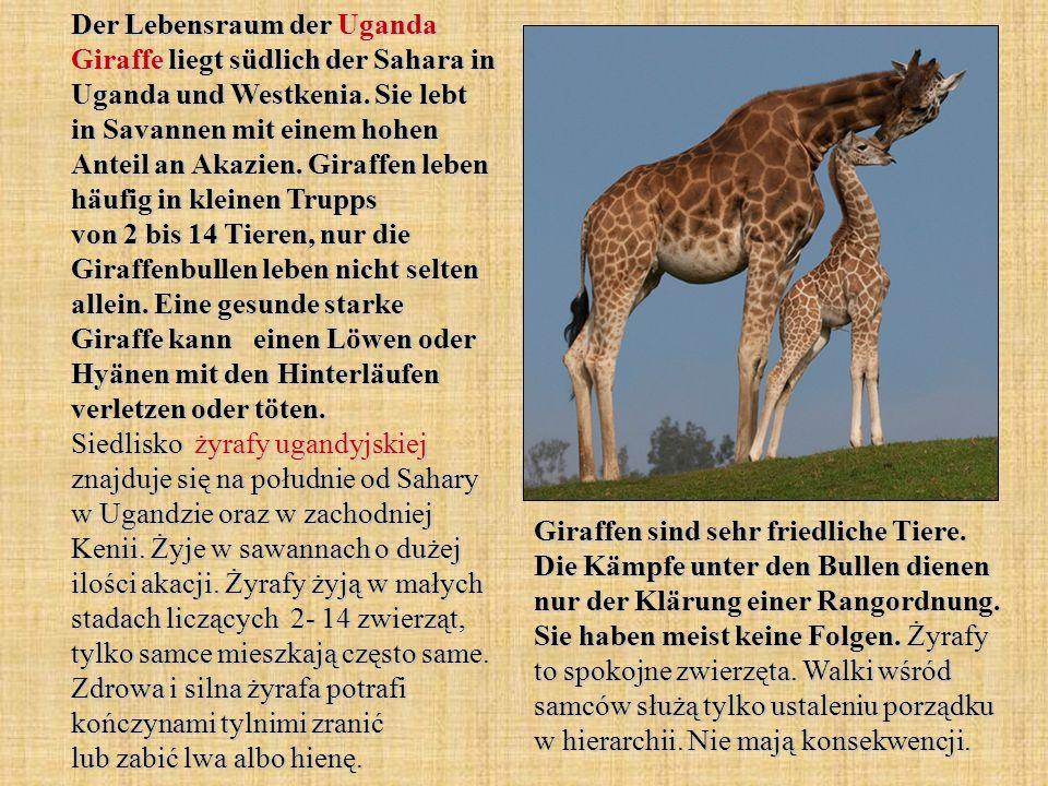 Der Lebensraum der Uganda Giraffe liegt südlich der Sahara in Uganda und Westkenia. Sie lebt in Savannen mit einem hohen Anteil an Akazien. Giraffen leben häufig in kleinen Trupps von 2 bis 14 Tieren, nur die Giraffenbullen leben nicht selten allein. Eine gesunde starke Giraffe kann einen Löwen oder Hyänen mit den Hinterläufen verletzen oder töten. Siedlisko żyrafy ugandyjskiej znajduje się na południe od Sahary w Ugandzie oraz w zachodniej Kenii. Żyje w sawannach o dużej ilości akacji. Żyrafy żyją w małych stadach liczących 2- 14 zwierząt, tylko samce mieszkają często same. Zdrowa i silna żyrafa potrafi kończynami tylnimi zranić lub zabić lwa albo hienę.