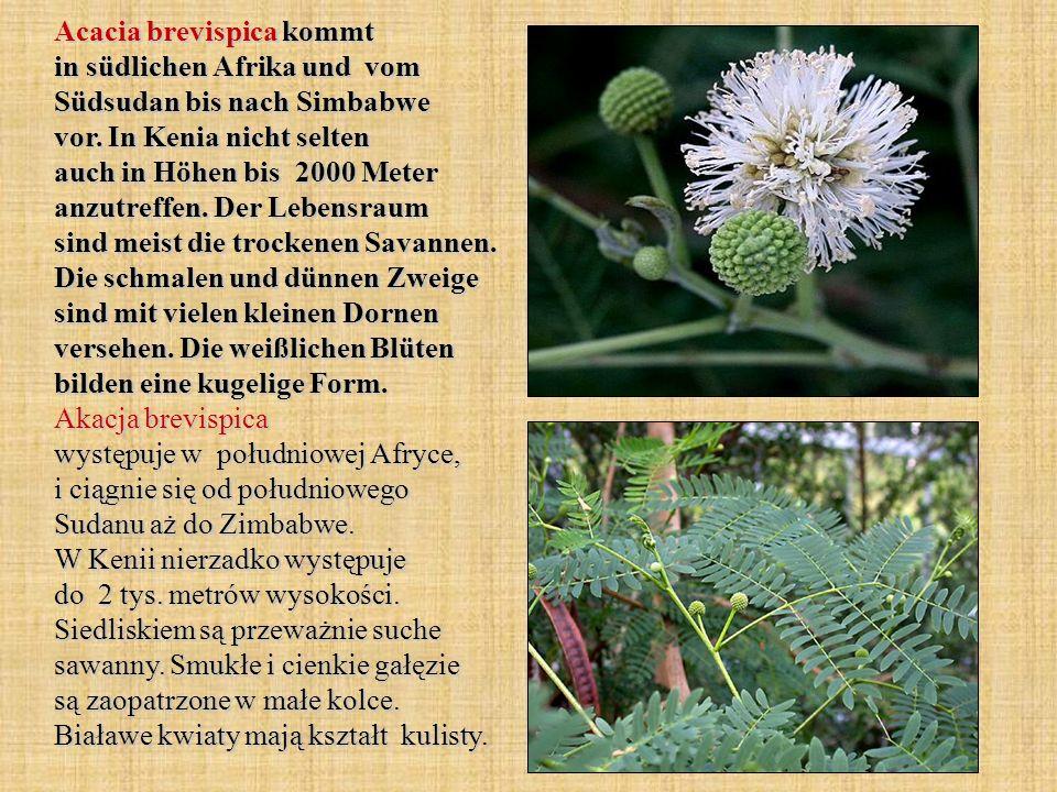 Acacia brevispica kommt in südlichen Afrika und vom Südsudan bis nach Simbabwe vor.