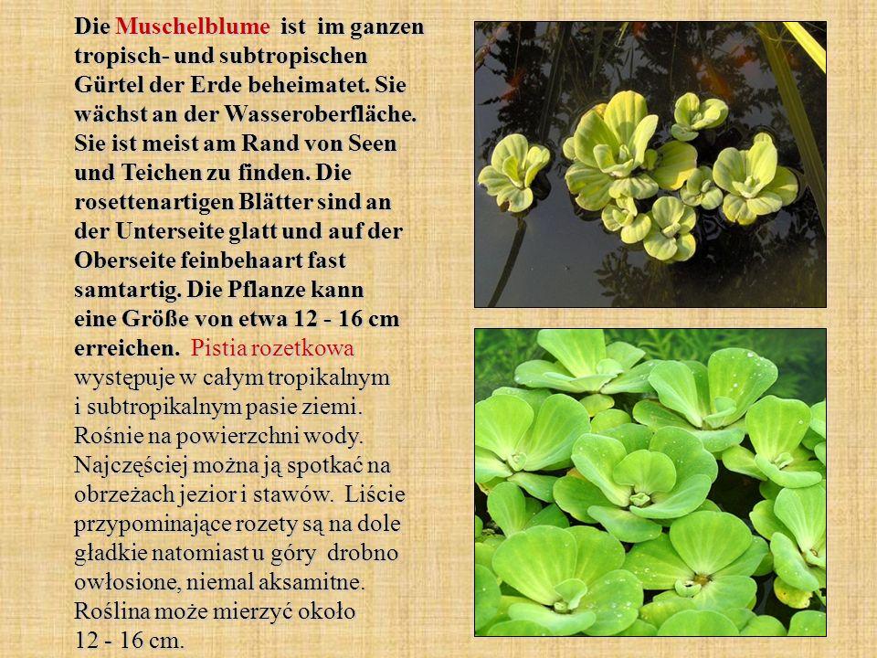 Die Muschelblume ist im ganzen tropisch- und subtropischen Gürtel der Erde beheimatet.