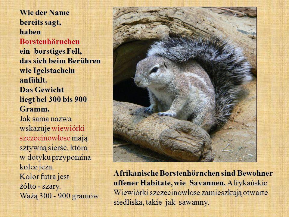 Wie der Name bereits sagt, haben Borstenhörnchen ein borstiges Fell, das sich beim Berühren wie Igelstacheln anfühlt. Das Gewicht liegt bei 300 bis 900 Gramm. Jak sama nazwa wskazuje wiewiórki szczecinowłose mają sztywną sierść, która w dotyku przypomina kolce jeża. Kolor futra jest żółto - szary. Ważą 300 - 900 gramów.