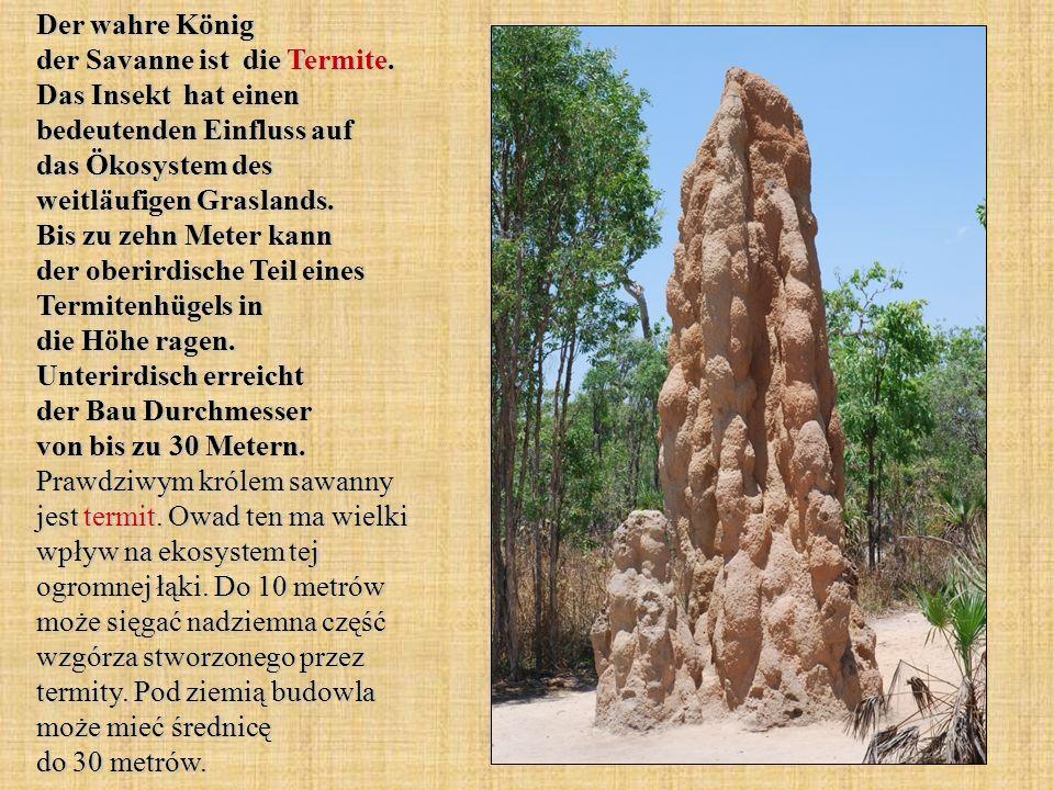 Der wahre König der Savanne ist die Termite