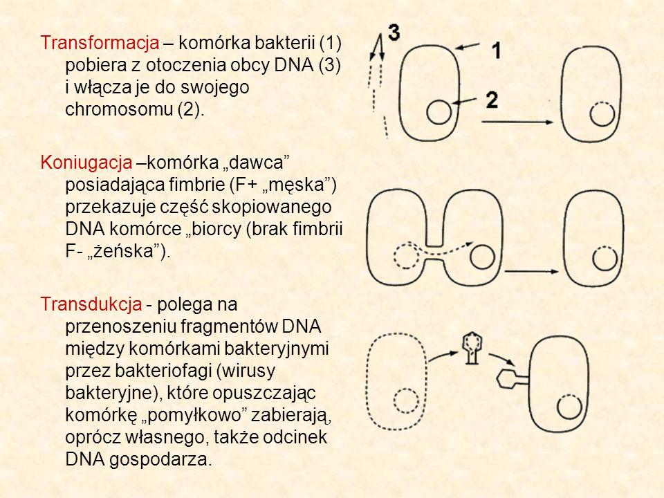Transformacja – komórka bakterii (1) pobiera z otoczenia obcy DNA (3) i włącza je do swojego chromosomu (2).