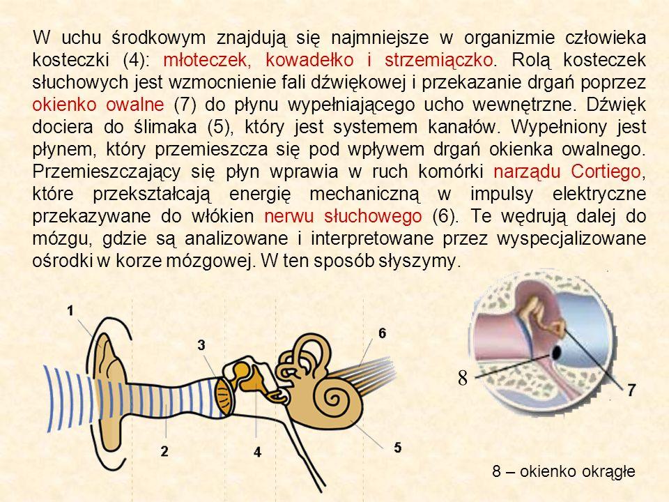 W uchu środkowym znajdują się najmniejsze w organizmie człowieka kosteczki (4): młoteczek, kowadełko i strzemiączko. Rolą kosteczek słuchowych jest wzmocnienie fali dźwiękowej i przekazanie drgań poprzez okienko owalne (7) do płynu wypełniającego ucho wewnętrzne. Dźwięk dociera do ślimaka (5), który jest systemem kanałów. Wypełniony jest płynem, który przemieszcza się pod wpływem drgań okienka owalnego. Przemieszczający się płyn wprawia w ruch komórki narządu Cortiego, które przekształcają energię mechaniczną w impulsy elektryczne przekazywane do włókien nerwu słuchowego (6). Te wędrują dalej do mózgu, gdzie są analizowane i interpretowane przez wyspecjalizowane ośrodki w korze mózgowej. W ten sposób słyszymy.