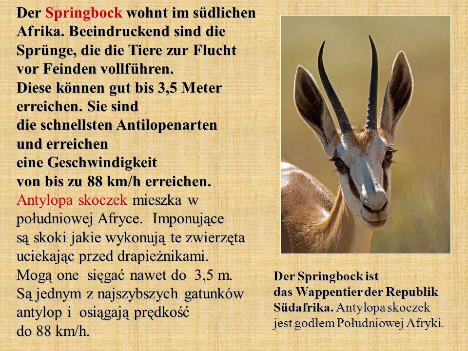 Der Springbock wohnt im südlichen Afrika