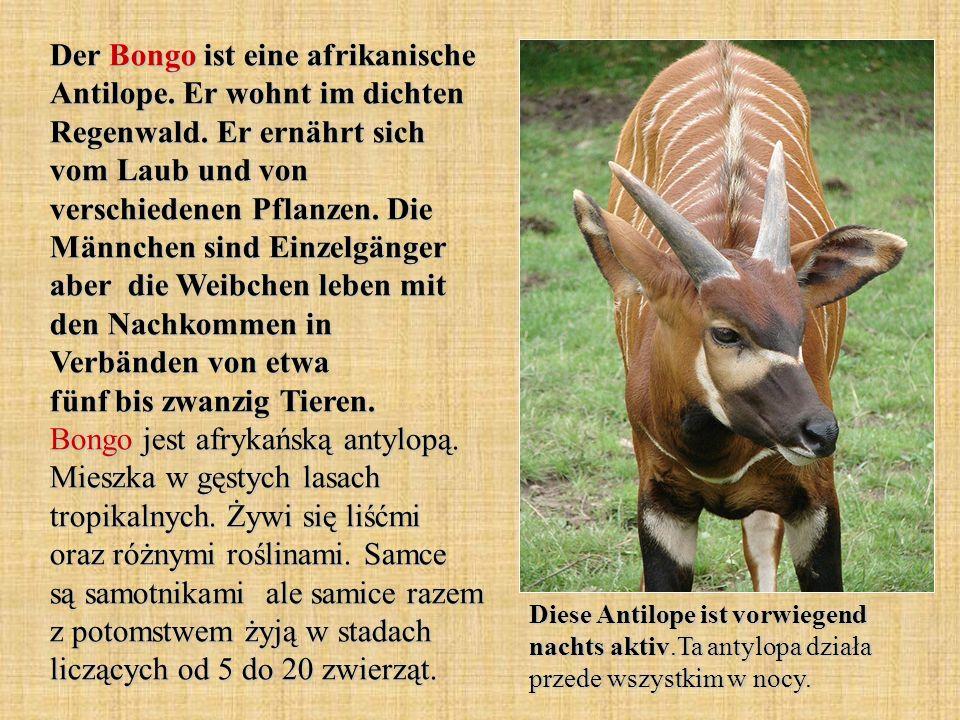 Der Bongo ist eine afrikanische Antilope. Er wohnt im dichten Regenwald. Er ernährt sich vom Laub und von verschiedenen Pflanzen. Die Männchen sind Einzelgänger aber die Weibchen leben mit den Nachkommen in Verbänden von etwa fünf bis zwanzig Tieren. Bongo jest afrykańską antylopą. Mieszka w gęstych lasach tropikalnych. Żywi się liśćmi oraz różnymi roślinami. Samce są samotnikami ale samice razem z potomstwem żyją w stadach liczących od 5 do 20 zwierząt.
