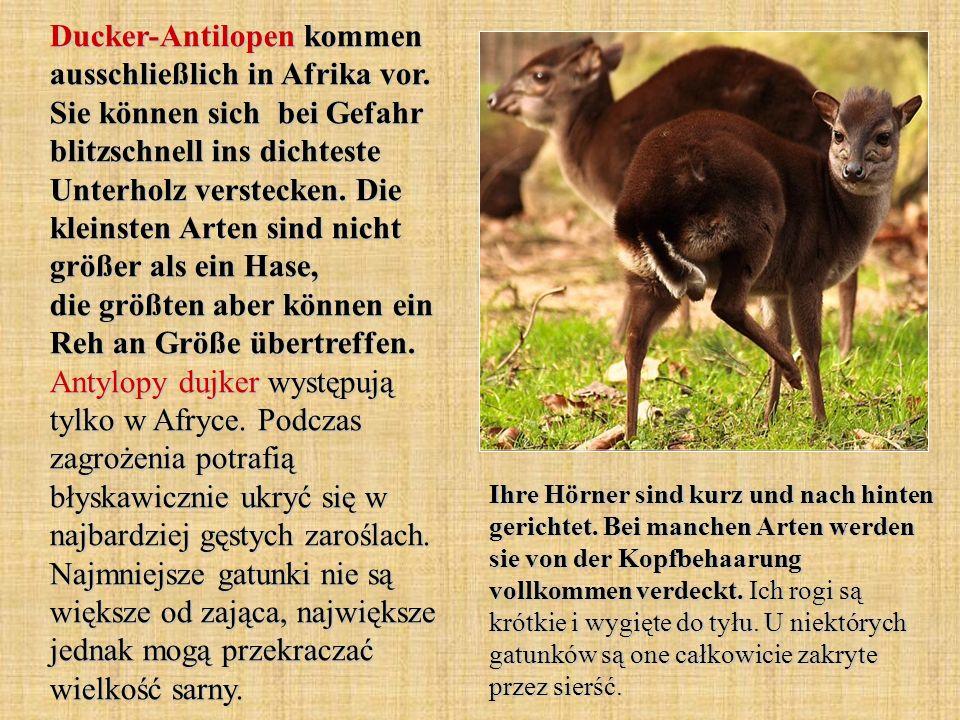 Ducker-Antilopen kommen ausschließlich in Afrika vor