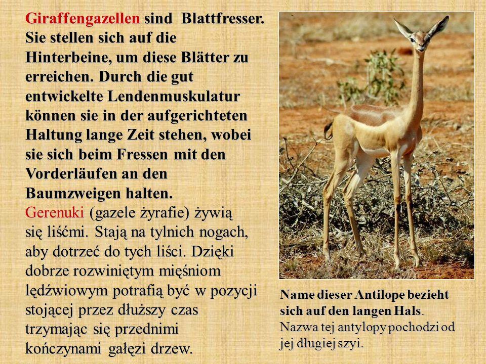 Giraffengazellen sind Blattfresser
