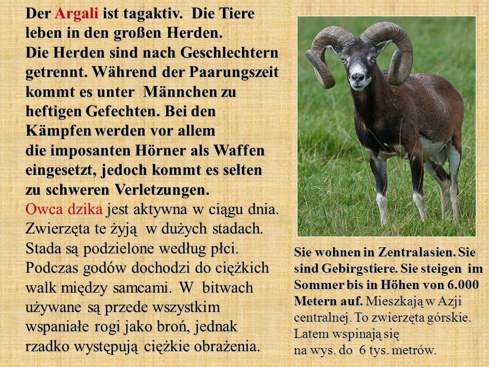 Der Argali ist tagaktiv. Die Tiere leben in den großen Herden