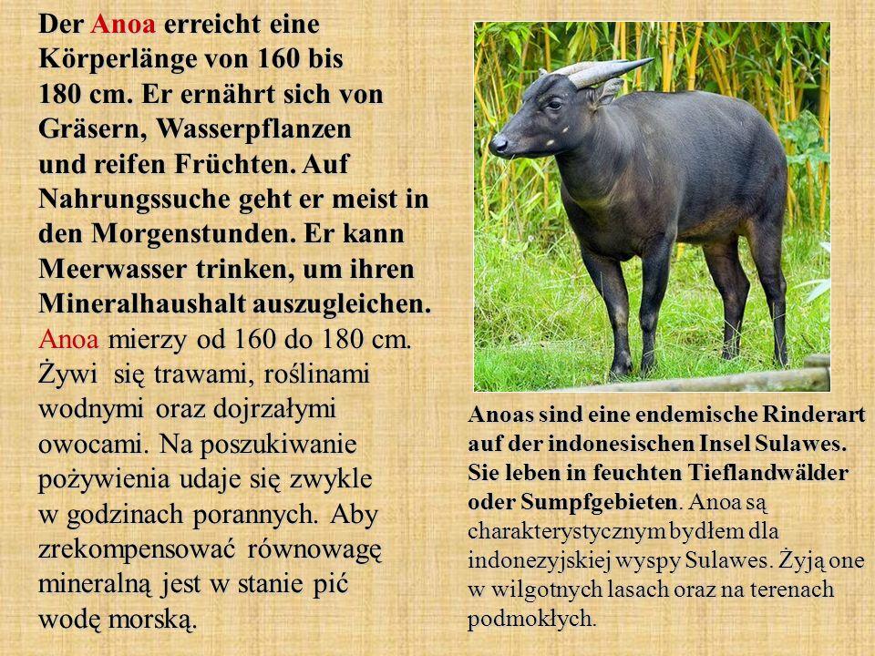 Der Anoa erreicht eine Körperlänge von 160 bis 180 cm