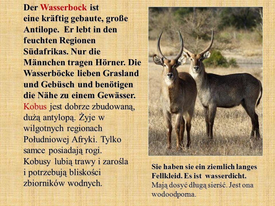 Der Wasserbock ist eine kräftig gebaute, große Antilope