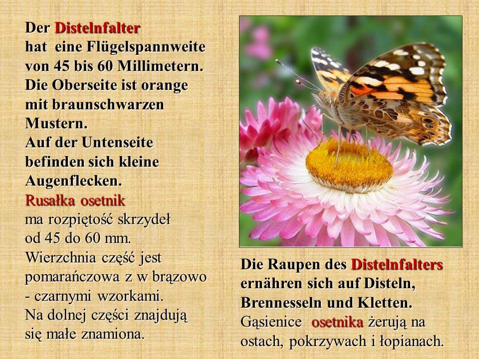 Der Distelnfalter hat eine Flügelspannweite von 45 bis 60 Millimetern