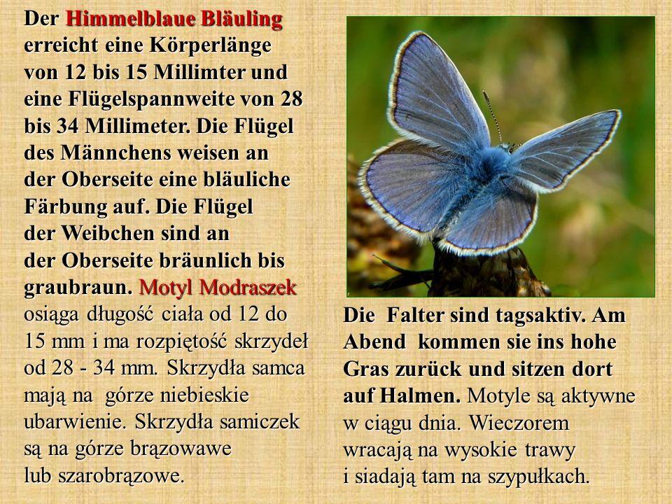 Der Himmelblaue Bläuling erreicht eine Körperlänge von 12 bis 15 Millimter und eine Flügelspannweite von 28 bis 34 Millimeter. Die Flügel des Männchens weisen an der Oberseite eine bläuliche Färbung auf. Die Flügel der Weibchen sind an der Oberseite bräunlich bis graubraun. Motyl Modraszek osiąga długość ciała od 12 do 15 mm i ma rozpiętość skrzydeł od 28 - 34 mm. Skrzydła samca mają na górze niebieskie ubarwienie. Skrzydła samiczek są na górze brązowawe lub szarobrązowe.