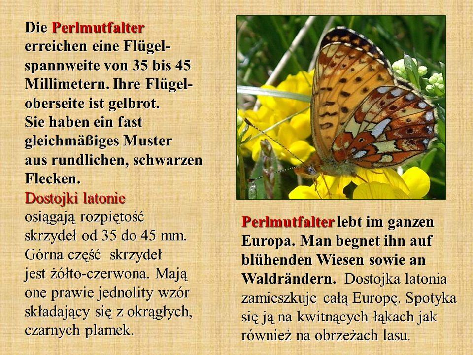 Die Perlmutfalter erreichen eine Flügel- spannweite von 35 bis 45 Millimetern. Ihre Flügel-oberseite ist gelbrot. Sie haben ein fast gleichmäßiges Muster aus rundlichen, schwarzen Flecken. Dostojki latonie osiągają rozpiętość skrzydeł od 35 do 45 mm. Górna część skrzydeł jest żółto-czerwona. Mają one prawie jednolity wzór składający się z okrągłych, czarnych plamek.