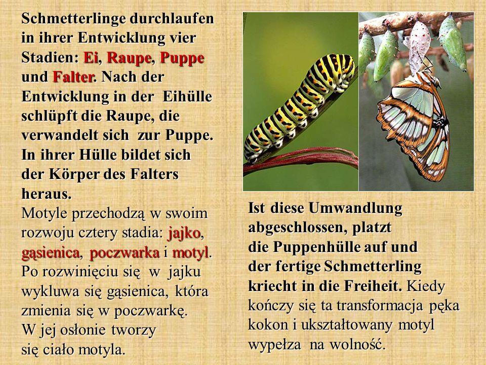 Schmetterlinge durchlaufen in ihrer Entwicklung vier Stadien: Ei, Raupe, Puppe und Falter. Nach der Entwicklung in der Eihülle schlüpft die Raupe, die verwandelt sich zur Puppe. In ihrer Hülle bildet sich der Körper des Falters heraus. Motyle przechodzą w swoim rozwoju cztery stadia: jajko, gąsienica, poczwarka i motyl. Po rozwinięciu się w jajku wykluwa się gąsienica, która zmienia się w poczwarkę. W jej osłonie tworzy się ciało motyla.