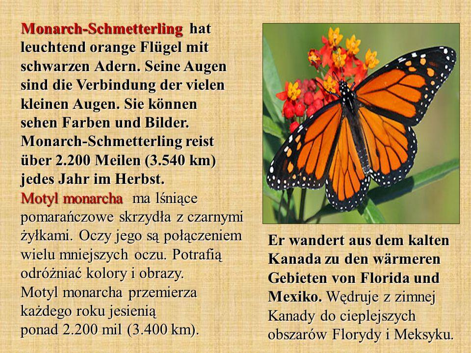 Monarch-Schmetterling hat leuchtend orange Flügel mit schwarzen Adern