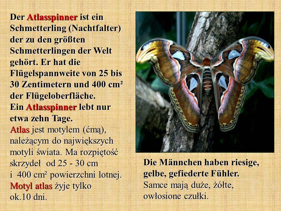 Der Atlasspinner ist ein Schmetterling (Nachtfalter) der zu den größten Schmetterlingen der Welt gehört. Er hat die Flügelspannweite von 25 bis 30 Zentimetern und 400 cm² der Flügeloberfläche. Ein Atlasspinner lebt nur etwa zehn Tage. Atlas jest motylem (ćmą), należącym do największych motyli świata. Ma rozpiętość skrzydeł od 25 - 30 cm i 400 cm² powierzchni lotnej. Motyl atlas żyje tylko ok.10 dni.