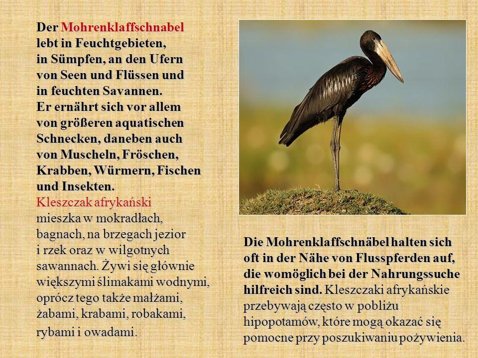 Der Mohrenklaffschnabel lebt in Feuchtgebieten, in Sümpfen, an den Ufern von Seen und Flüssen und in feuchten Savannen. Er ernährt sich vor allem von größeren aquatischen Schnecken, daneben auch von Muscheln, Fröschen, Krabben, Würmern, Fischen und Insekten. Kleszczak afrykański mieszka w mokradłach, bagnach, na brzegach jezior i rzek oraz w wilgotnych sawannach. Żywi się głównie większymi ślimakami wodnymi, oprócz tego także małżami, żabami, krabami, robakami, rybami i owadami.