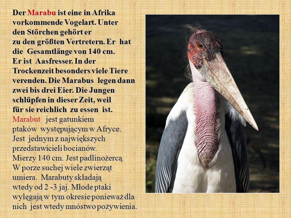 Der Marabu ist eine in Afrika vorkommende Vogelart