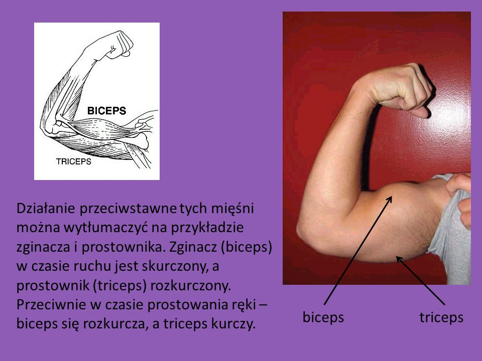Działanie przeciwstawne tych mięśni można wytłumaczyć na przykładzie zginacza i prostownika. Zginacz (biceps) w czasie ruchu jest skurczony, a prostownik (triceps) rozkurczony. Przeciwnie w czasie prostowania ręki – biceps się rozkurcza, a triceps kurczy.