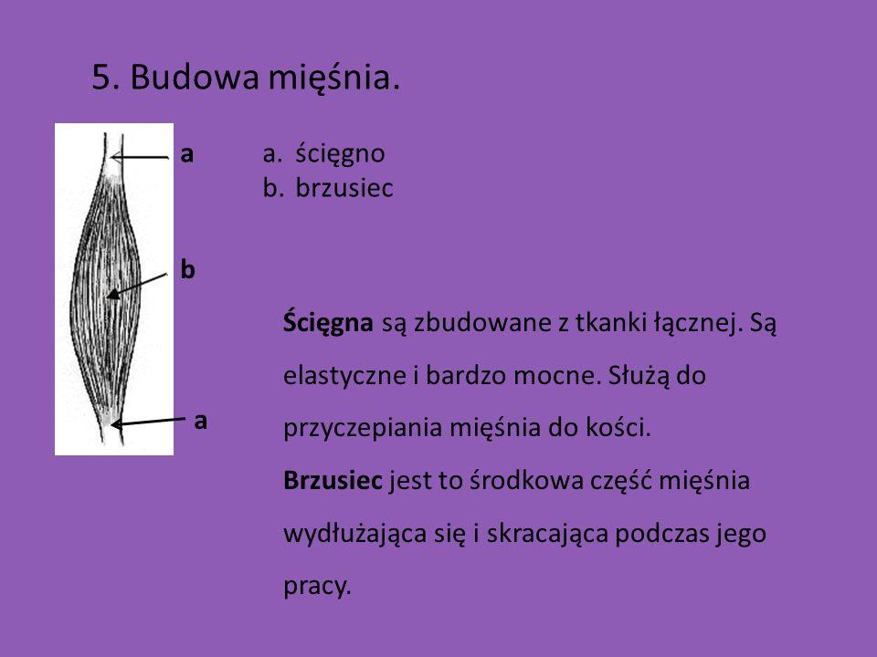 5. Budowa mięśnia. a ścięgno brzusiec b