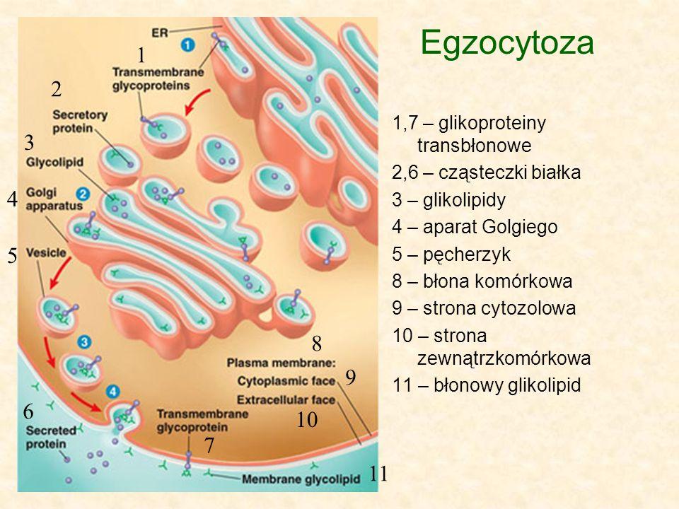 Egzocytoza 1 2 3 4 5 8 9 6 10 7 11 1,7 – glikoproteiny transbłonowe