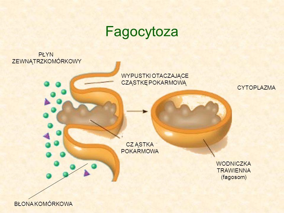 Fagocytoza PŁYN ZEWNĄTRZKOMÓRKOWY WYPUSTKI OTACZAJĄCE