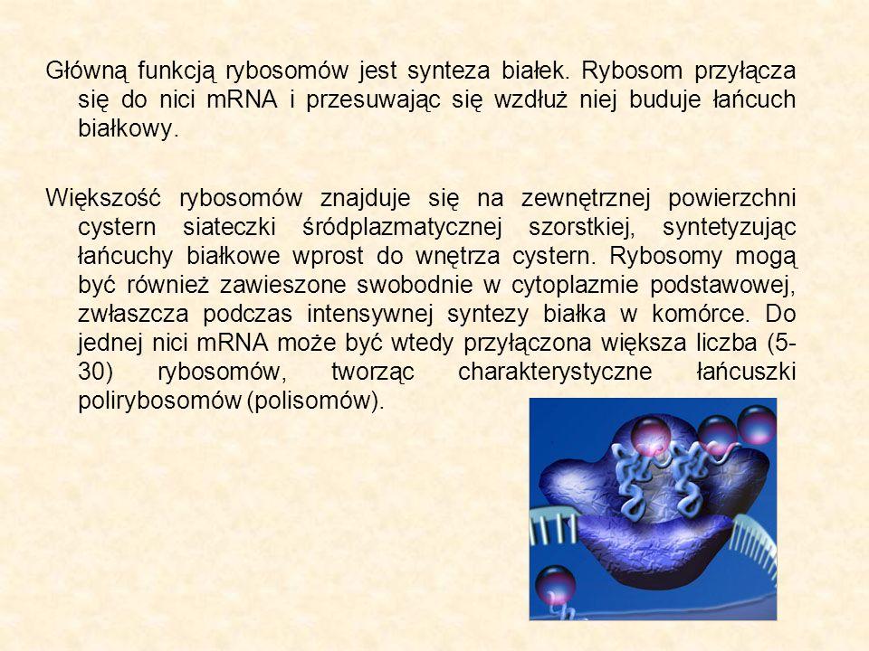 Główną funkcją rybosomów jest synteza białek