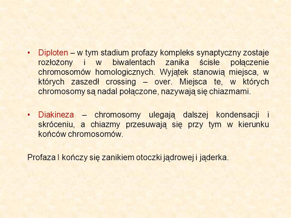 Diploten – w tym stadium profazy kompleks synaptyczny zostaje rozłożony i w biwalentach zanika ścisłe połączenie chromosomów homologicznych. Wyjątek stanowią miejsca, w których zaszedł crossing – over. Miejsca te, w których chromosomy są nadal połączone, nazywają się chiazmami.