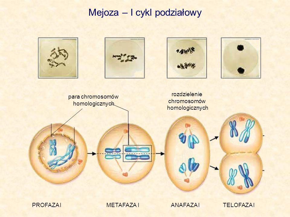 Mejoza – I cykl podziałowy