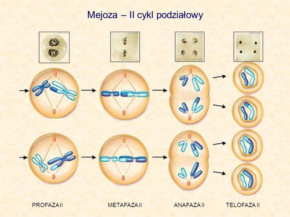 Mejoza – II cykl podziałowy