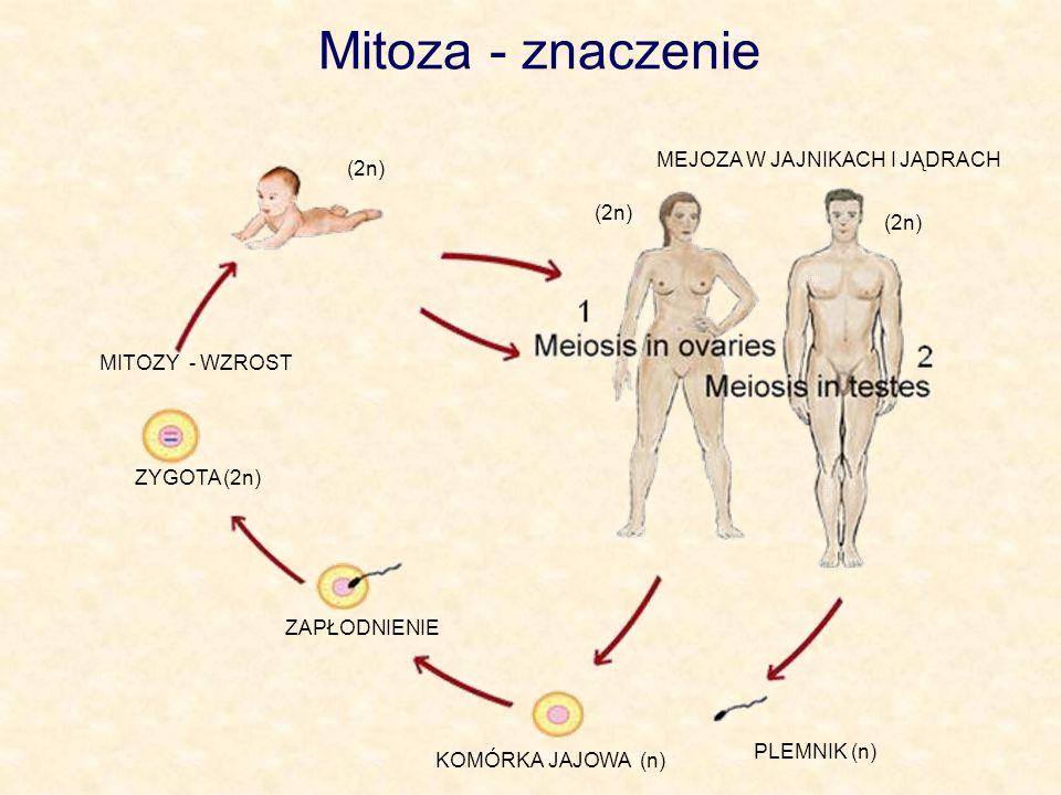 Mitoza - znaczenie MEJOZA W JAJNIKACH I JĄDRACH (2n) (2n) (2n)