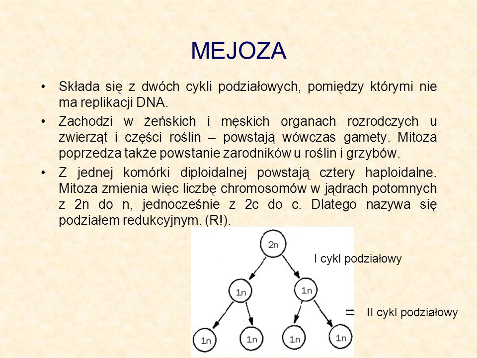 MEJOZA Składa się z dwóch cykli podziałowych, pomiędzy którymi nie ma replikacji DNA.