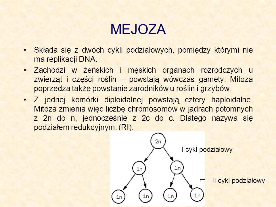 MEJOZASkłada się z dwóch cykli podziałowych, pomiędzy którymi nie ma replikacji DNA.