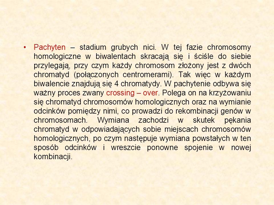 Pachyten – stadium grubych nici