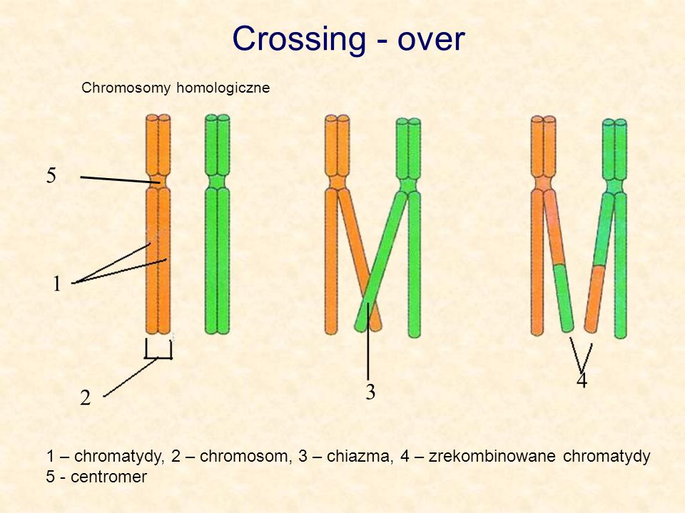 Crossing - over Chromosomy homologiczne. 5. 1. 4. 3. 2. 1 – chromatydy, 2 – chromosom, 3 – chiazma, 4 – zrekombinowane chromatydy.