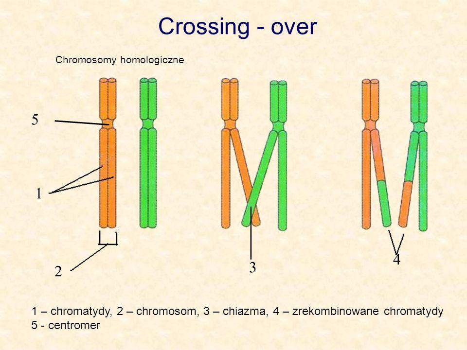 Crossing - overChromosomy homologiczne. 5. 1. 4. 3. 2. 1 – chromatydy, 2 – chromosom, 3 – chiazma, 4 – zrekombinowane chromatydy.